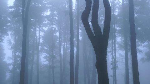 PINO CANARIO (Pinus canariensis),  , El Pilar, La Palma, Canary Islands, Spain, Europe