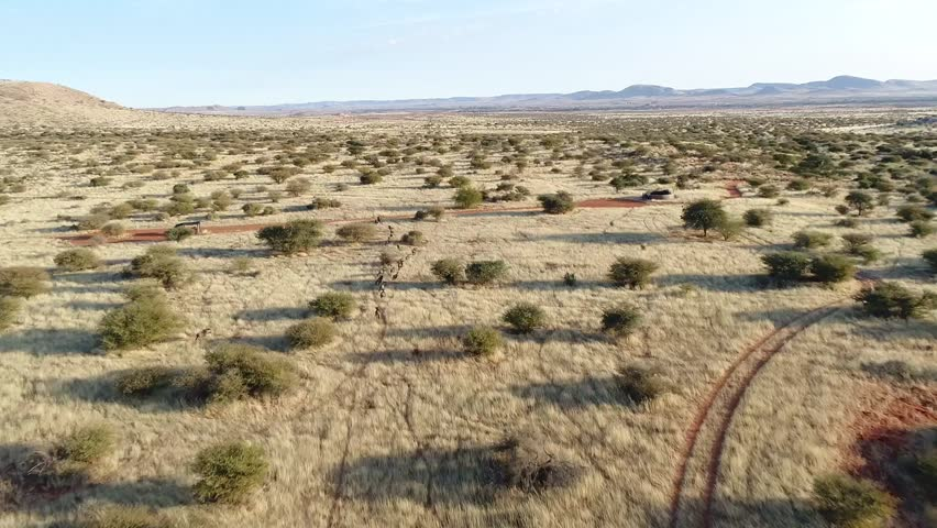 Aerial tracking shot of Blue Wildebeest running on the plains of the Kalahari in South Africa