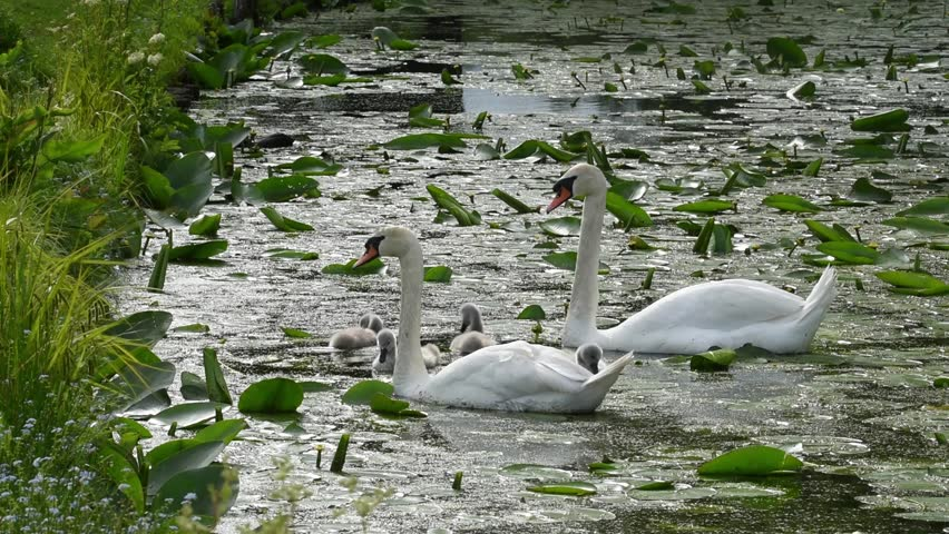 Swan family in a pond at Drottningholm, Stockholm