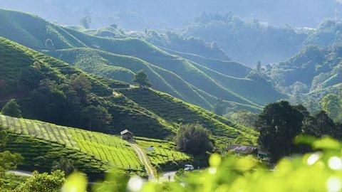4K Timelapse of green Tea Plantation , Cameron Highland after sunrise.