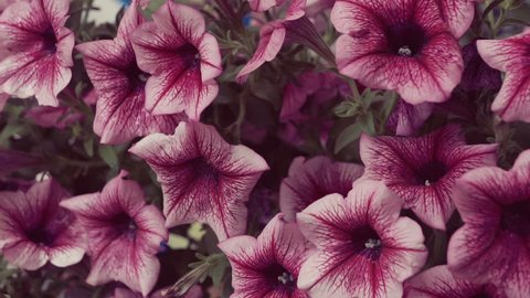 Close up of some beautiful pink hanging petunia flowers