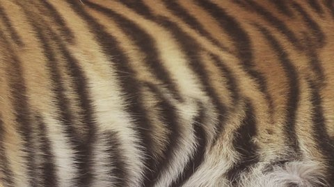 bengal tiger stripes