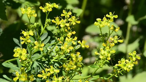 common rue medicinal herb with flower