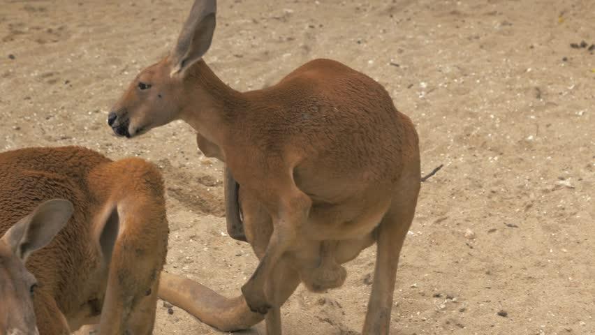 Close-up of adult red kangaroo scratching himself, 4K