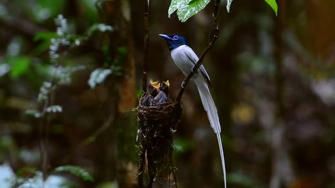 Asian paradise flycatcher bird male in white plumage perching on the nest taking care three babies in heavy raining and low light condition, hd video. Father bird and his children are all wet.