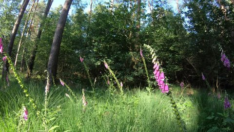 Pink forest flowers (digitalis purpurea) and grasses at the forest edge