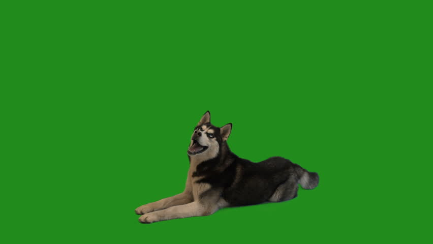 husky dog lies and looks at the green screen #1012836050