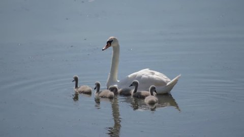 Swan family. Mother swan and baby chicks children kids swans. Birds floating on water in a pond in the reeds