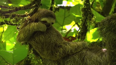 Three-toed baby sloth scratching on a branch. Sloths are arboreal mammals noted for slowness of movement and for spending most of their lives hanging upside down in the trees of the rainforest.