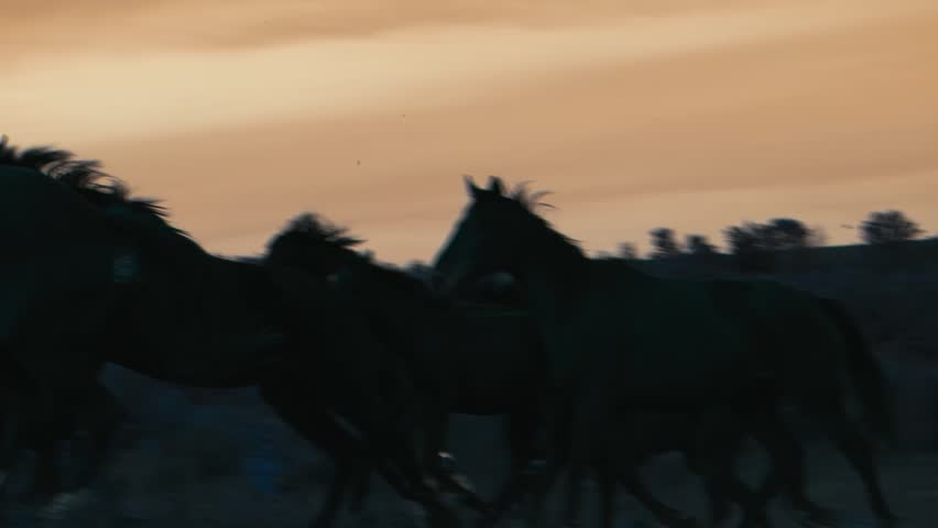Herd of wild horsesing through the yellow hills, during pink sunset. Wild animals, wild places, running stallions #1012965320