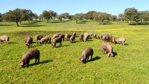 free living iberian pigs on the  meadow of spanish oak forest 431