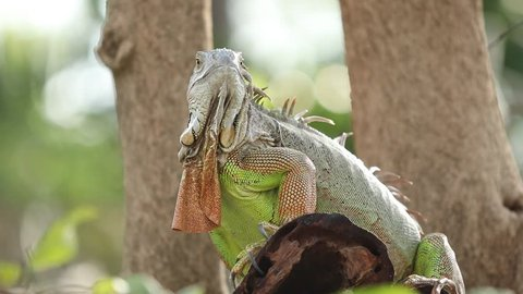 Green iguana sits on a tree branch, Big iguana in the wild, Iguana is a genus of herbivorous lizards that are native to tropical areas of Mexico.