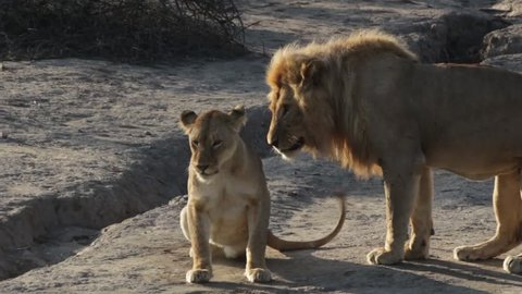 two lions mating at sunrise in the african bush