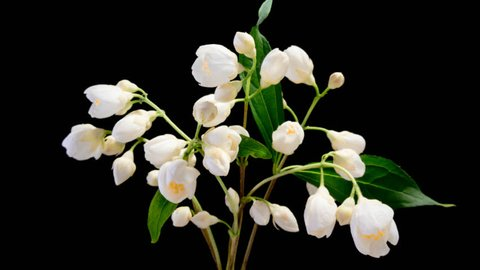 Time lapse of white Jasmine flowers blooming on black background
