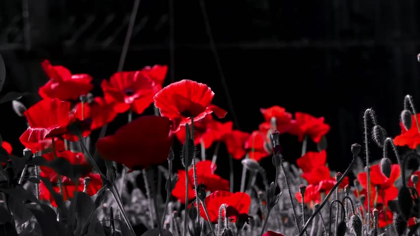 Poppies in the moonlight.Night shooting of colors.Red poppy in the moonlight.Contrasting, red color on a black background.