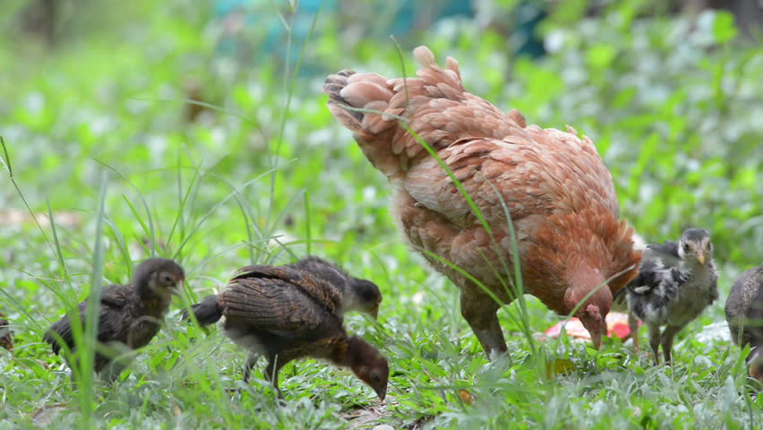 Chicken's family. Caring chicken protecting her small fluffy yellow and brown baby chickens walking freely on meadow field outbuilding on animal ranch. Cute happy livestock bird family on farm.