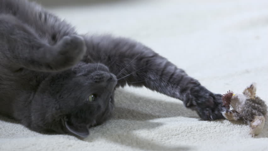 Adult Gray Cat as a Stock Footage Video (100% Royalty-free) 1013133440 |  Shutterstock