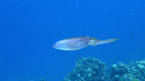 Caribbean Reef Squid in coral reef of Caribbean Sea at scuba dive around Curacao /Netherlands Antilles