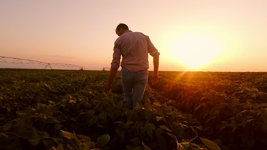 Young farmer walking in a soybean field and examining crop.