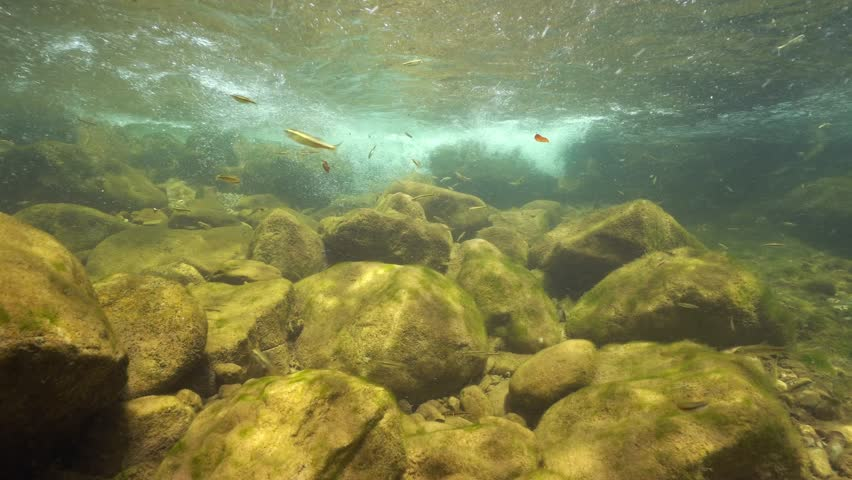 Stream underwater with rocks and small fish Eurasian minnow, Phoxinus phoxinus, La Muga, Girona, Alt Emporda, Catalonia, Spain