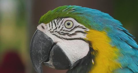 Close up Blue and gold macaw parrot with the beautiful colors of the feathers that are