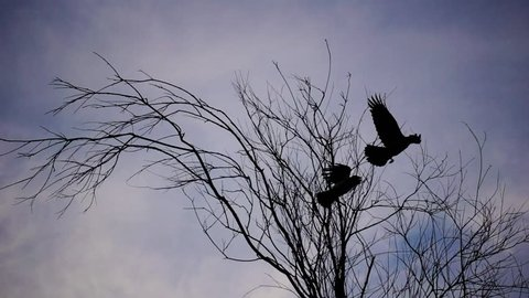 Crows fly over a tree branch against the sky. Slow-motion shooting of 240 frames per second