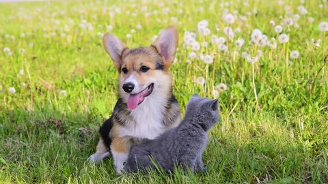 Pembroke Welsh Corgi puppy lying with kitten on a summer grass
