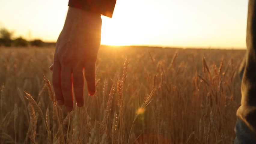 Male hand touching a golden wheat ear in the wheat field, sunset light, flare light. Unrecognizable person walking in field in slow motion, dolly shot. Agriculture, harvesting, organic farming concept #1013303210