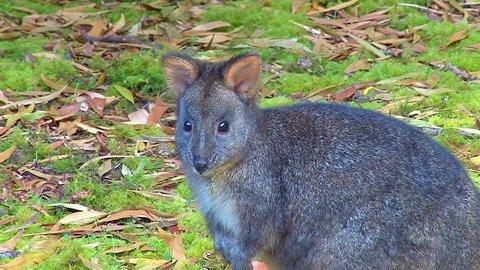 AUSTRALIA - CIRCA 2017 - An Australian pademelon, a small kangaroo or wallaby like creature.