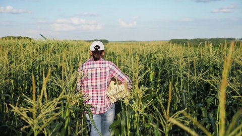 A woman going with an empty wooden box over the field of ripe corn. Harvesting of corn. Summer time