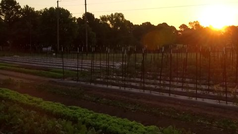 Slow drone fly over of vegetable rows at sunrise on a small organic local farm.