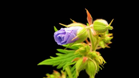 Time lapse of Meadow Cranesbill flower on black background
