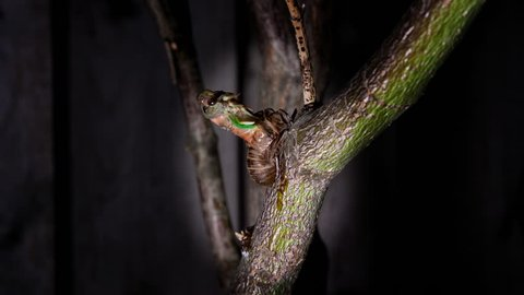 Metamorphosis concept of rebirth into adulthood. Time lapse of a cicada hatching from its nymph shell into a winged adult. Exoskeleton insect growing and changing during the night on a tree branch.