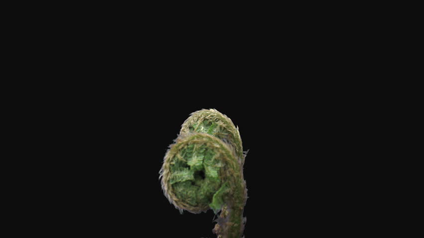 Time-lapse of fern plant unrolling new fronds 11a3 in RGB + ALPHA matte format isolated on black background