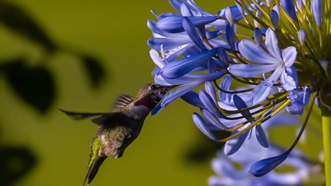 Annas Hummingbird Feeding On Flower Slow Motion 1500fps