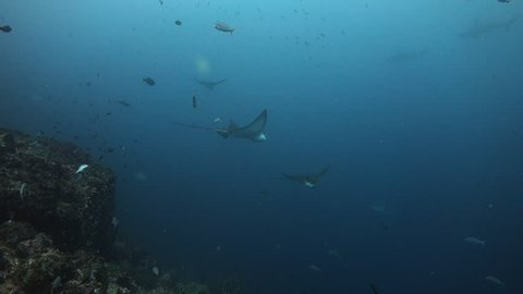 Eagle ray swims gracefully towards camera, then turns and heads away at Wolf Island in the Galapagos.