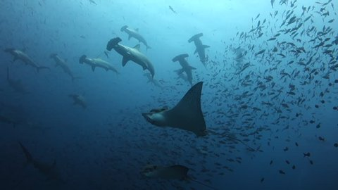 Eagle rays swim out to a wall of hammerhead sharks swimming past at Wolf Island in the Galapagos Islands.