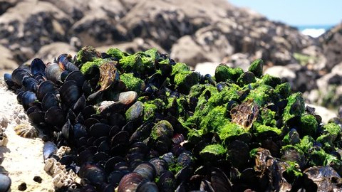 Mussels Growing On Beach Rocks Low Tide. Mussel is the common name used for members of several families of bivalve molluscs