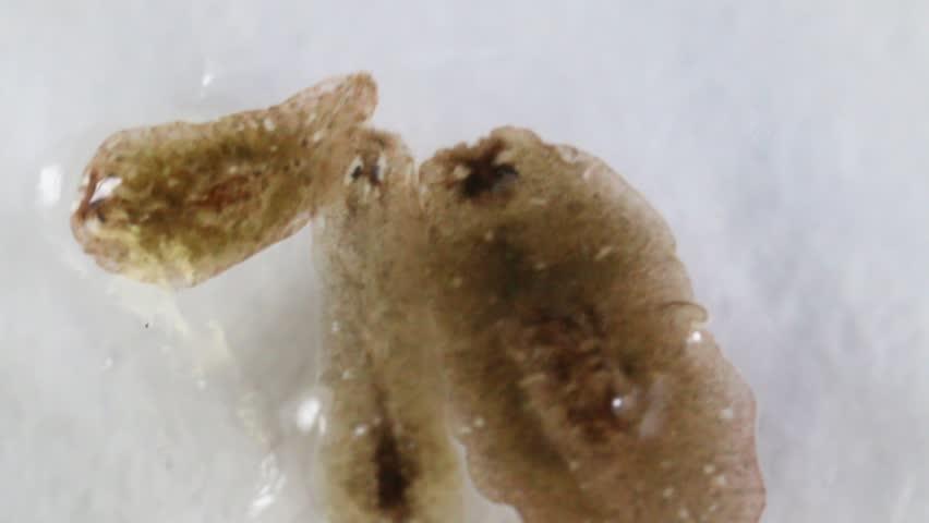 Planarian parasite (flatworm) under microscope view.