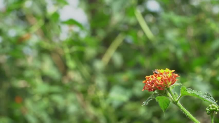 Slow motion of a Sapphire-spangled Emerald hummingbird feeding on the  nectar of a red flower