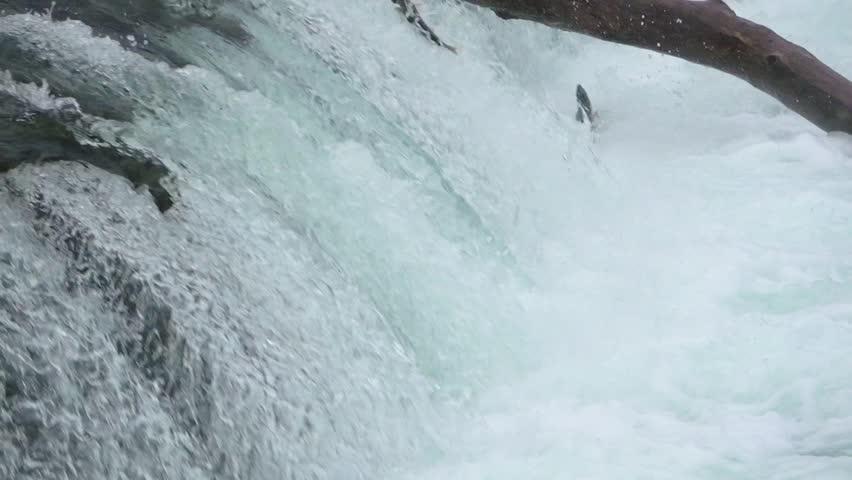 Migrating Salmon Jumping up Brooks falls at Katmai National Park, Alaska in Slow motion