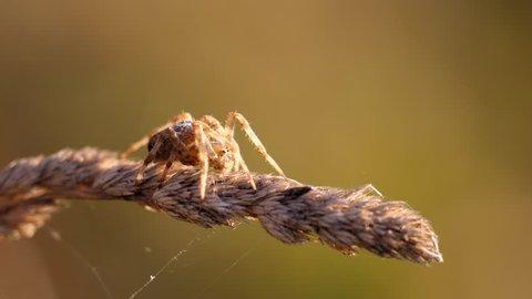 Close detail of diadem cross spider (Araneus diadematus) sitting on plant, blur background