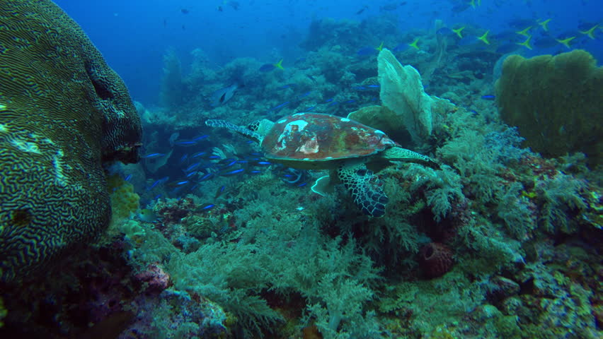 Following turtle swimming over reef in Raja Ampat. #1013845220