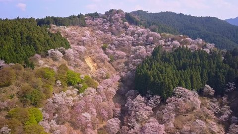 Aerial shot over Yoshino mountains covered by full blossom cherry trees and Cryptomeria Japonica cypress , Nara province, Japan. Unesco World Heritage