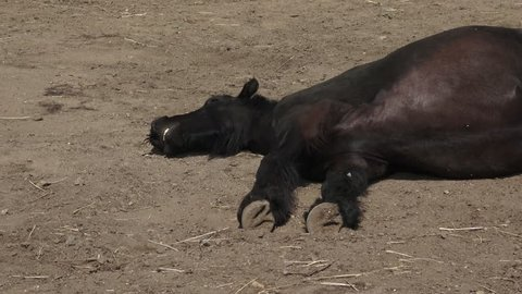 Black friesian horse sleeping on the ground