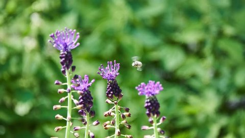 Leopoldia comosa (Muscari comosum) is perennial bulbous plant. Usually called tassel hyacinth or tassel grape hyacinth, it is one of number of species and genera also known as grape hyacinths.