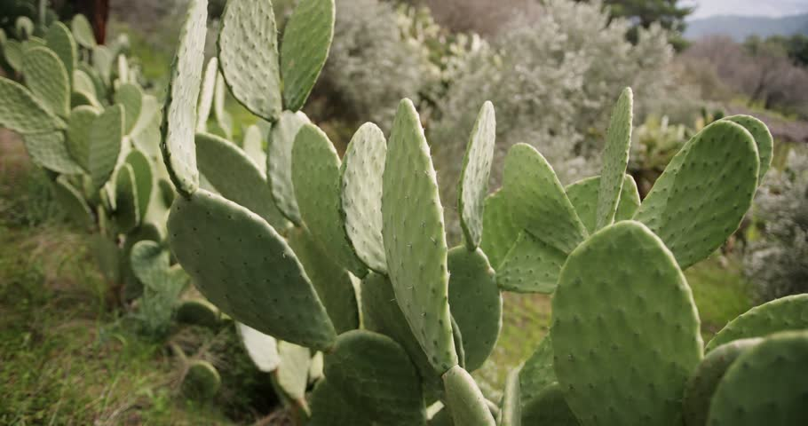 Close-up of prickly pear cactus with thorns in summer