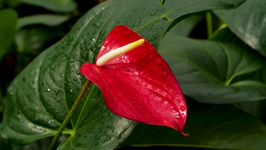 Beautiful Anthurium at a Hawaii Nursery
