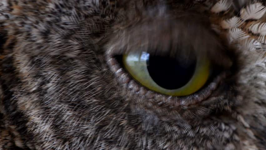 European scops owl (Otus scops) Close up blink eye