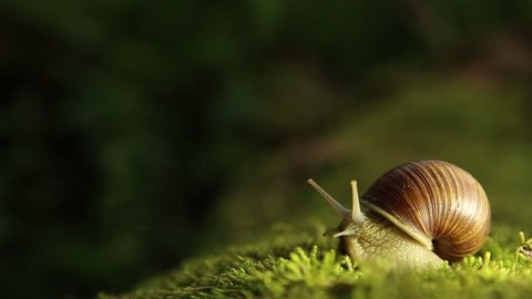 A grape snail on a green moss slowly turns its head